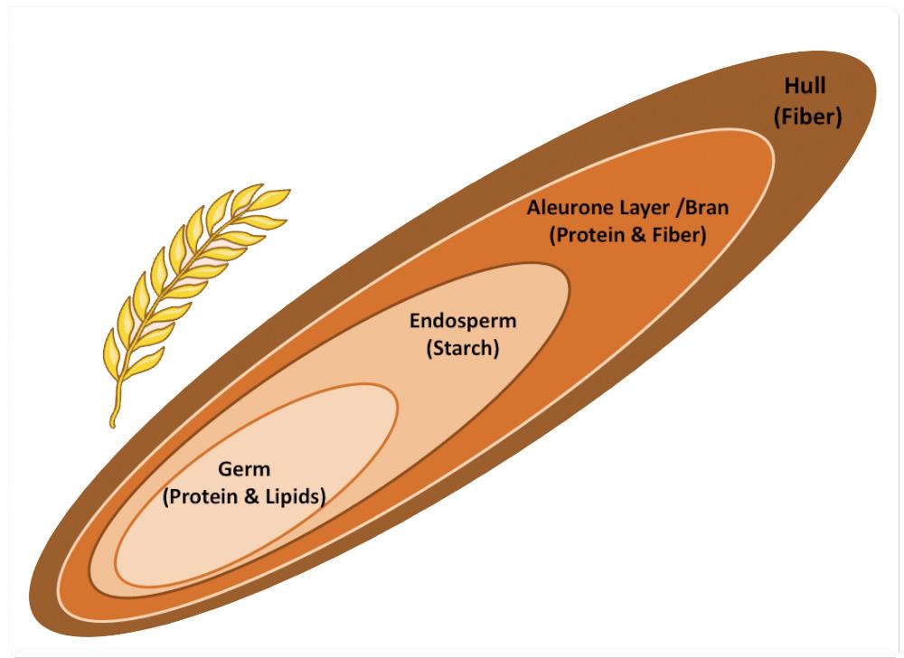 структура на зърно пшеница